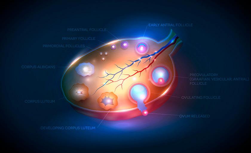 Нормальная анатомия и физиология органов женского малого таза.